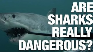 Are Sharks Really Dangerous? - Video