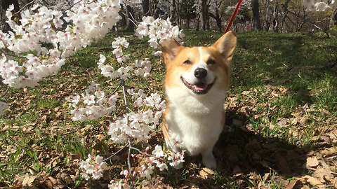 Corgi boy Enjoying Spring with Beautiful Japanese cherry blossoms!