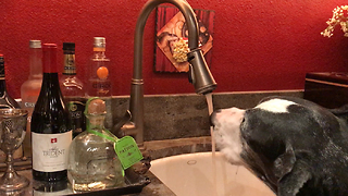 Clever Great Dane Asks For a Drink of Tap Water  - Video