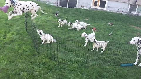 Dalmatian family plays together in slow motion