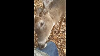 Incredible moment deer approaches, nuzzles hunters - Video