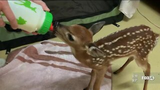 White-tailed deer fawn recovering at CROW