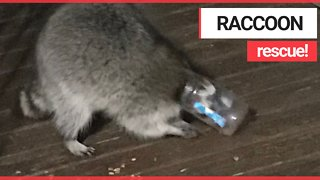 Moment gluttonous raccoon is rescued after getting his head stuck in a peanut butter jar - Video