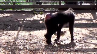 Monkey adopts chicken in Israeli Zoo - Video