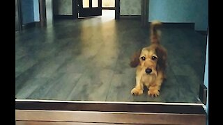 Cute little dachshund wants to play