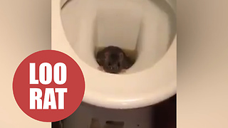 Barman found a live RAT emerging from one of the pub's toilets - Video