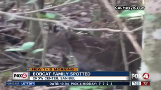 Bobcat spotted at Crow Center - Video