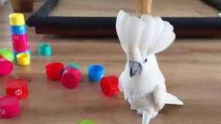 Cockatoo Demonstrates World Dominance With Humble Plastic Cups - Video