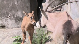 Zoo Welcomes an Oryx Fawn - Video