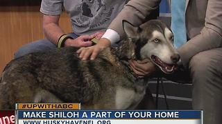 Meet Shiloh, Jan. 21, 2017 Rescues in Action star - Video