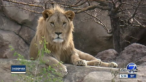 Doubling the world's African lion population just one of the things that's got Disney calling Denver Zoo