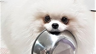 Pomeranian brings food bowl to owner when hungry - Video