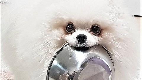 Pomeranian brings food bowl to owner when hungry
