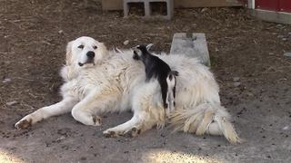 Dog Lovingly Babysits Cute Baby Goats - Video