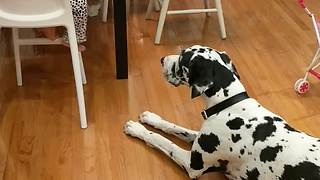 2-year-old Dog Whisperer practices her skills - Video