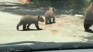 Mama Bear And Cubs Stroll Through Residential Neighborhood - Video