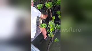 Good Samaritans rescue turtle stuck in mangrove tree branches - Video