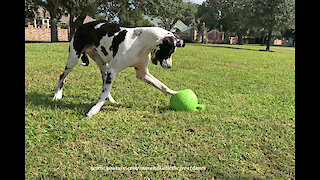 Great Dane Has Fun Chasing His Jolly Ball Horse Toy