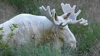Rare White Moose Spotted Grazing in Sweden - Video