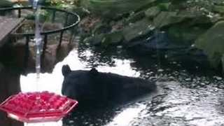 Bear Cools Off in Backyard Pond in Pennsylvania - Video