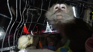 Monkey enjoys drive through Christmas Lights  - Video