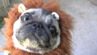 'Lion Pug' documentary will make your day! - Video