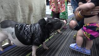 Stylish pig walks around pet show in a coat - Video
