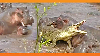 30+ Hippos Attack One Crocodile - Video