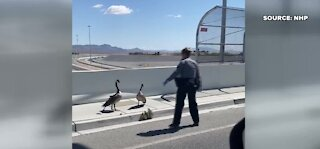 Las Vegas traffic stopped to help geese cross a highway