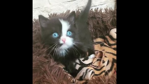 Super Cute Kitten Has The Brightest Blue Eyes