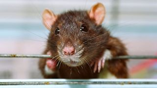 Rat Detectives Sniff Out Crime - Video