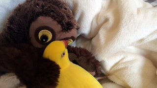 Parrot preciously snuggles with toy owl  - Video