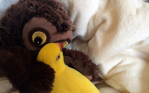 Parrot preciously snuggles with toy owl