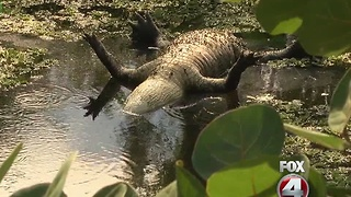 Dead alligator causing stink in San Carlos Park - Video