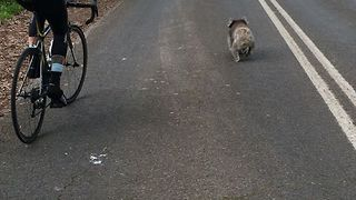 Cyclists Overtake a Speedy Koala on Adelaide Road - Video
