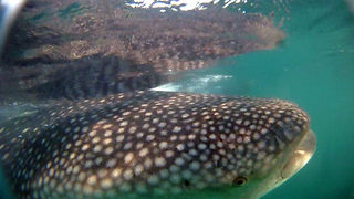Amazing moment divers get up close and personal with gigantic whale shark - Video