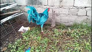 This chicken is feeling blue - Video
