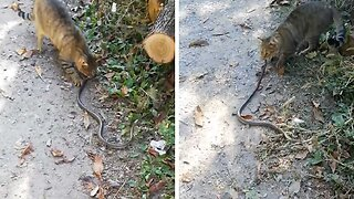 BRAVE CAT GRABS SNAKE BY TAIL BEFORE RUNNING OFF WITH IT