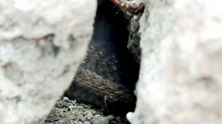 Snake Want To Eat Frog But Frog Can Survive - Video