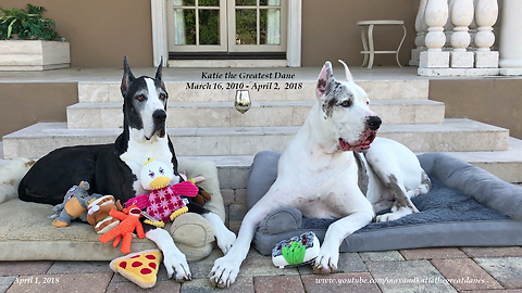 Goodbye Katie the Great Dane: Forever in our hearts