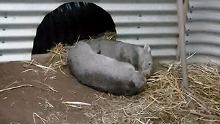Adorable wombat babies getting up to play
