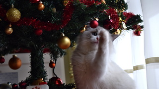 Kitten thinks Christmas tree is giant play toy