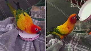 Parrot repeatedly slaps ice cream lid in hilarious fashion