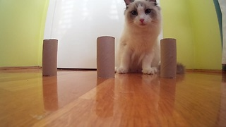 Clever cat dominates DIY shell game - Video