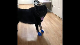 Dog awkwardly tries to get used to new boots