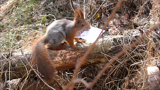 Training a squirrel to become a postman - Video