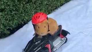 Guinea Pig Rides a Snowmobile - Video