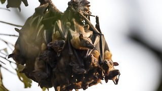 Bat bouquet – Sleeping bats look like a bunch of flowers  - Video