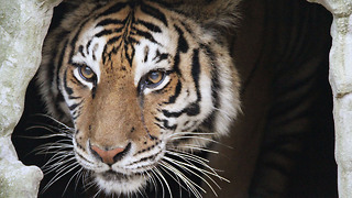 Rescued Tiger Undergoes Dramatic Surgery: WILDEST ANIMAL RESCUES - Video