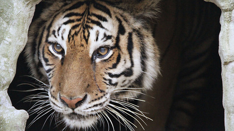Rescued Tiger Undergoes Dramatic Surgery: WILDEST ANIMAL RESCUES